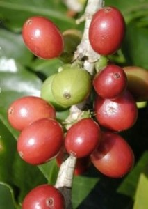 green%20and%20red%20cherries%202